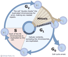 The mitotic phase